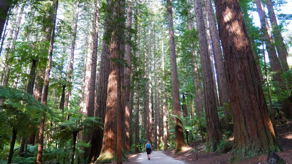 Redwoods Forest Neuseeland